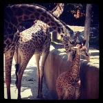 Sophie and her giraffe parents