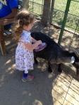 Brushing a goat