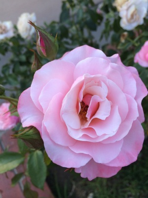 I wish Smellavision existed so you could smell this rose...