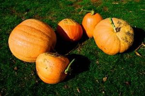 Harvested_Pumpkins_(Clackamas_County,_Oregon_scenic_images)_(clacDA0059)