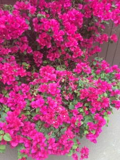 Overflowing Pink Bougainvillea