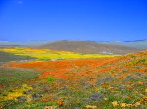 Antelope_Valley_Poppy_Preserve