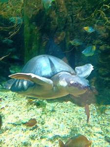 Fly River Turtle Los Angeles Zoo April 2015