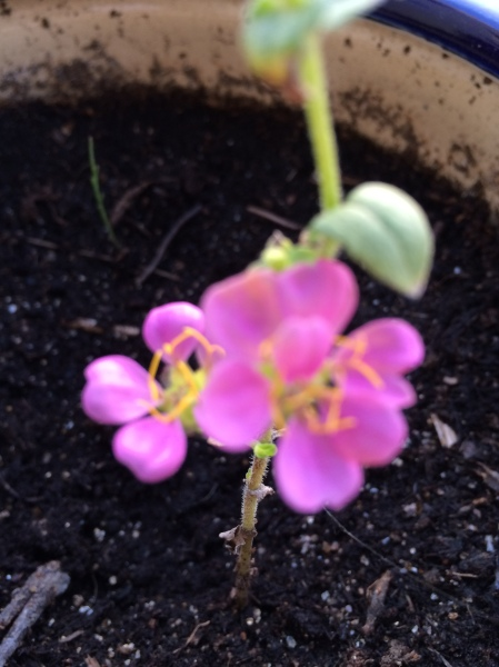 New zinnia growth