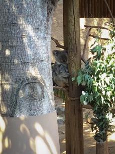 Koala and baby at the Los Angeles Zoo
